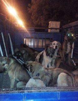 آغاز عملیات زنده گیری سگ های ولگرد در سطح شهر