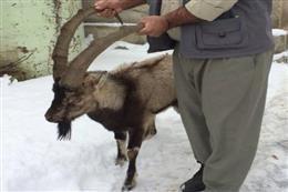 تحویل یک راس کل وحشی به محیط زیست در فیروزکوه