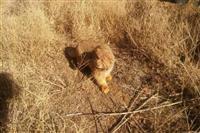 مصدومیت یک قلاده گربه پالاس در کوهستان شیرکوه