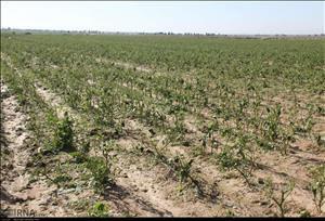 بارندگی به سه هزار و ۶۰۰ هکتار زمین کشاورزی اندیمشک خسارت زد