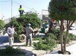 هرس و بازپیرایی درختان زینتی سطح شهر ارومیه آغاز شد