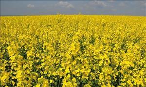 ۳۹۰هزار هکتار زیر کشت محصولات کشاورزی خوزستان بیمه شد