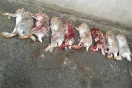 دستگیری شکارچیان غیر مجاز ۸ راس خرگوش در بهارستان