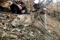 شکارچی پلنگ رودبار در چنگال قانون گرفتار شد.
