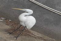 رهاسازی یک قطعه پرنده اگرت  توسط اداره حفاظت محیط زیست شهرستان منوجان در زیستگاه طبیعی