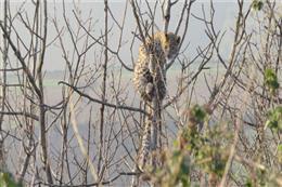 با حضور به موقع نیروهای یگان حفاظت محیط زیست شهرستان گرگان، یک قلاده پلنگ نابالغ گرفتار در چنگال سگهای گله رهاسازی شد
