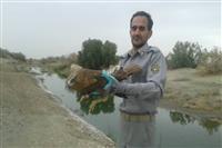 رها سازی یک بهله پرنده شکاری توسط مامورین یگان حفاظت محیط زیست شهرستان کهنوج