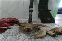 متخلف شکار یک راس قوچ وحشی بدام مامورین یگان حفاظت محیط زیست شهرستان شهربابک افتاد
