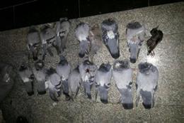 به دام افتادن شکارچیان کبوتران وحشی در پاکدشت