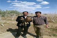 انتقال یک بهله عقاب شاهی آسیب دیده به مرکز نگهداری پرندگان شکاری در اداره محیط زیست بافق