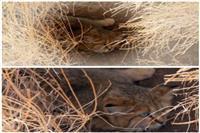 مشاهده مستقیم یک قلاده گربه شنی در منطقه حفاظت شده سیاه کوه