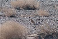 ثبت تصاویر پرنده درحال انقراض زاغ بور برای اولین بار در محدوده شهرستان رفسنجان