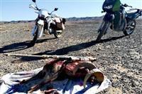 دستگیری شکارچیان یک راس قوچ وحشی توسط مامورین یگان حفاظت محیط زیست شهرستان زرند