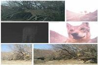 ثبت جدیدترین تصاویر از دو قلاده یوزپلنگ ایرانی در پناهگاه حیات وحش دره انجیر