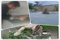 مشاهده و نجات یک قلاده کاراکال در جهرم فارس