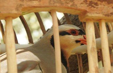 با تلاش محیط بانان:        دستگیری ۶متخلف شکار غیرمجاز و کشف ۵ قطعه کبک و ۴ قطعه سهره طلایی در شهرستان روانسر