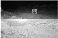 مشاهده دو قلاده پلنگ در شهرستان بهاباد-یزد