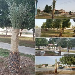 کاشت نخل های ثمرده به شکل گسترده در سطح شهر توسط شهرداری خرمشهر
