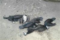 برخورد به کابل های فشار قوی عامل تلفات دسته جمعی باکلان در پناهگاه حیات وحش دره انجیر