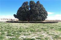 سرو ابرکوه تنها اثر طبیعی ملی استان یزد