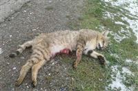گربه جنگلی در اثر تصادف در همدان تلف شد/دیده شدن گربه جنگلی برای نخستین بار در همدان