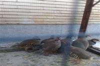 کشف وضبط ۶ قطعه پرنده کبک وحشی از متخلفین شکاروصیدتوسط یگان حفاظت محیط زیست شهرستان جیرفت