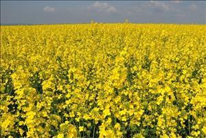 برداشت کلزا از سطح مزارع دزفول آغاز شد