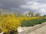 فضای شهر ارومیه با درختچه های یاس زرد و به ژاپنی عطر آگین شده است