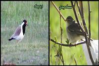 ثبت مشاهده دو گونه پرنده جدید در تالاب گندمان چهارمحال و بختیاری