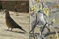 دوگونه پرنده جدید در چهارمحال و بختیاری مشاهده شد