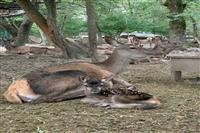 تولد دو گوساله مرال در پناهگاه حیات وحش سمسکنده ساری در سال۹۸