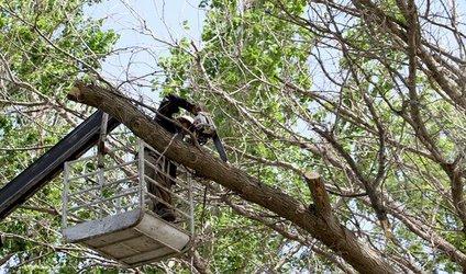 هرس تابستانه درختان با هدف جلوگیری از شیوع آفت و بیماری به کل درخت انجام میشود