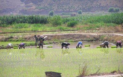 آوای آب و عطر شالی در شالیزارهای رستم آباد گیلان