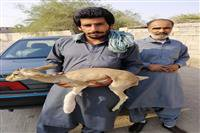 نجات یک راس کهره بز وحشی در رودبار جنوب کرمان توسط یک نفر دوستدار حیات وحش و محیط زیست