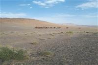 چرای غیر مجاز هشتاد نفر شتر در منطقه حفاظت شده کالمند بهادران