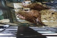 صید دو بهله پرنده شکاری توسط متخلف در بهاباد