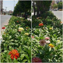 در آستانه فصل تابستان شهرداری خرمشهر اقدام به کاشت انواع گل متناسب با شرایط اقلیمی در معابر سطح شهر نمود