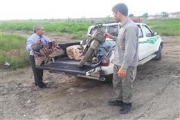 دستگیری متخلفین صید پرندگان شکاری توسط مامورین یگان حفاظت محیط زیست بندرترکمن