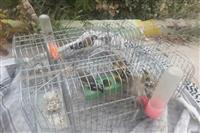 کشف ۵ قطعه پرنده سهره طلایی در شهرستان مهریز