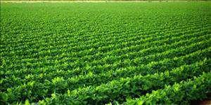 ۶ درصد تولید حبوبات کشور در خوزستان انجام میشود