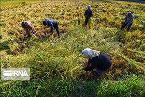 برداشت برنج دزفول، کمبود امکانات و انحصار دلالان