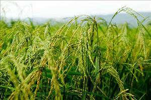 استاندار خوزستان:متعهد به دفاع از منافع برنجکاران هستیم