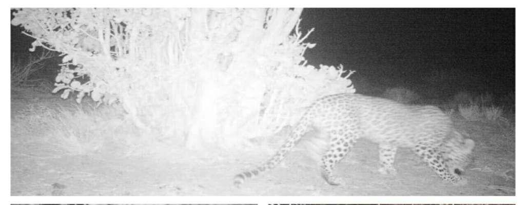 برای اولین بار حضور پلنگ ایرانی در پناهگاه حیات وحش دره انجیر تصویربرداری و مستند سازی شد