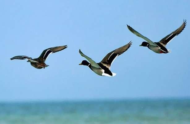 استان همدان میزبان پاییزی پرندگان مهاجر