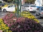 مرحله سوم کاشت گل های پاییزی در معابر شهر ارومیه در حال اجرا است