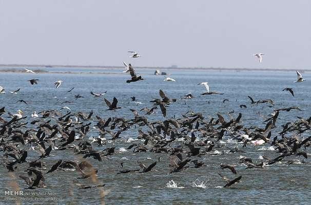 آغاز مهاجرت پرندگان به شادگان/ورود سالانه ۱۱۰ گونه پرنده به تالاب