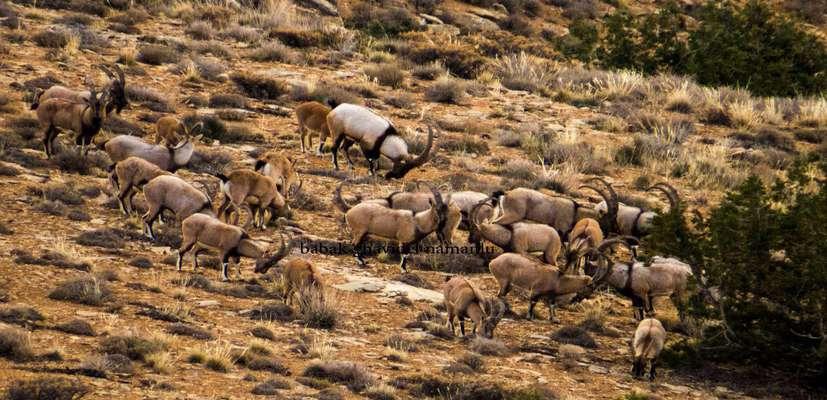 گونه های علفخوار تنها پارک ملی خراسان رضوی شمارش شدند/ثبت دومین مشاهده پلنگ رها سازی شده