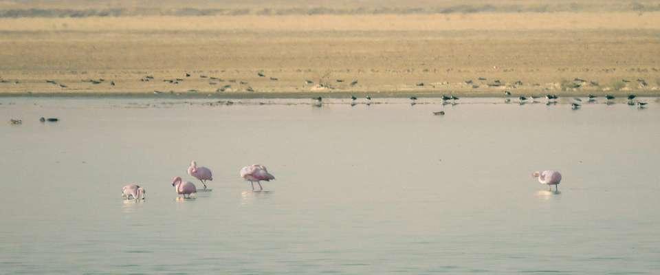 ورود اولین گروه میهمانان آبی به آبگیرهای استان تهران