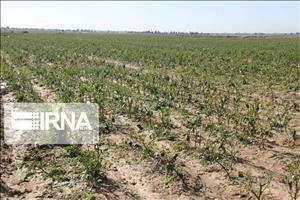 بیمه محصولات پاییزی خوزستان کلید خورد