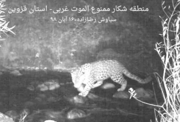 ثبت یک قلاده پلنگ ایرانی در الموت